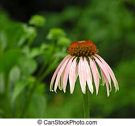 Coneflower - A photograph of a single purple coneflower