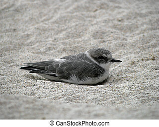 Shorebird - Beautiful Shorebird in Sandy Shore and Aviary...