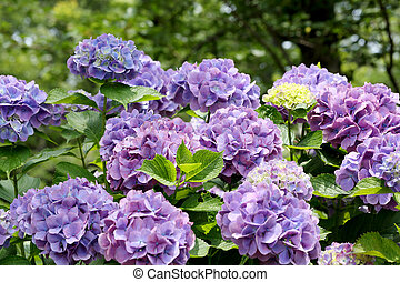 hydrangea flowers - colorful hydrangea flowers growing in...