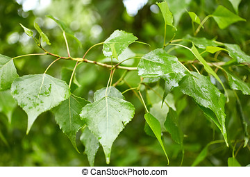 Foliage of poplar tree. Nature background