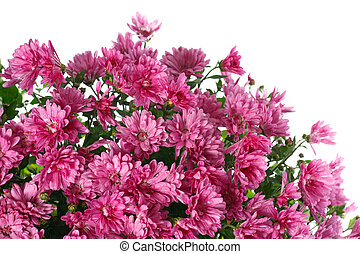 chrysanthemum flowers with dew, isolated on white -...