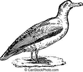 Albatross, vintage engraving. - Albatross, vintage engraved...