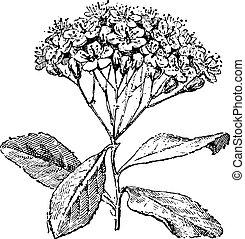 Service tree or sorbus domestica , vintage engraving. -...