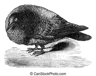 Pigeon after ablation of the cerebral lobes, vintage...