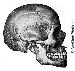 Side view of skull, vintage engraving - Side view of skull,...