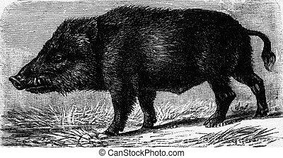 Boar, vintage engraving. - Boar, vintage engraved...