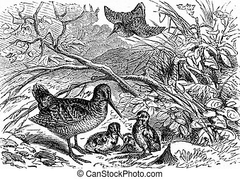 A family of woodcock, vintage engraving. - A family of...