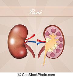 Kidneys - illustration of Kidneys