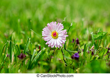 Pink Daisy flower amongst grass