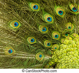 Peacock feather pattern background - Peacock feather pattern...