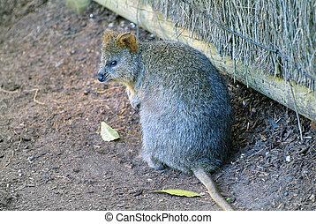 Australia, Zoology - Australia, quokka