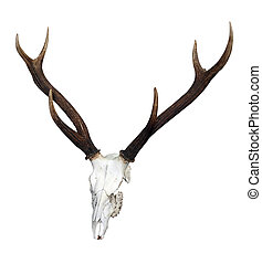 Deer Skull with 6 Point Antlers isolated with clipping path...