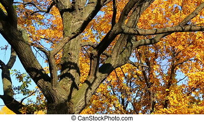 beautiful autumn tree - dolly shot