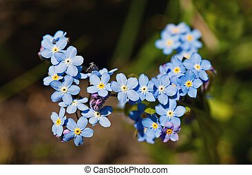 Field Forget-me-not (Myosotis arvensis) in the garden