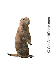Prairie dog on a white background