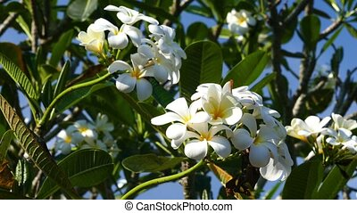 branches of flowering white plumeria