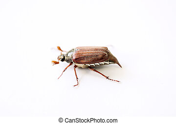 chafer closeup isolated on a white background