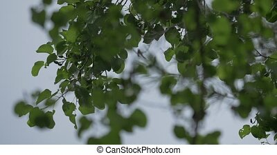Tree leafes in the wind and sun - Native Camera Output, 4K,...