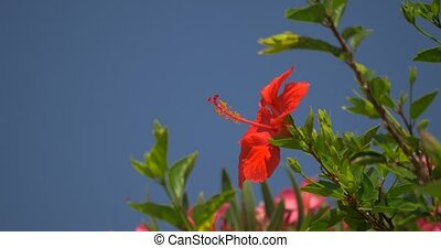 Amaryllis Flower on Corsica - Native Camera Output, 4K, Tree...