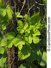 Wild hop foliage Europe, Poland, Holy Cross Mountains