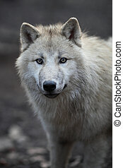 Arctic Wolf Canis lupus arctos aka Polar Wolf or White Wolf...