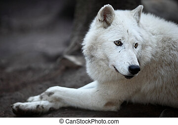 Arctic Wolf (Canis lupus arctos) aka Polar Wolf or White...