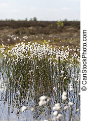 Tussock cottongrass - bog pond - Tussock cottongrass -...