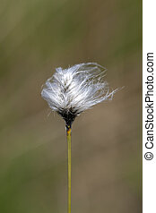 Tussock cottongrass - Eriophorum vaginatum in a macro shot