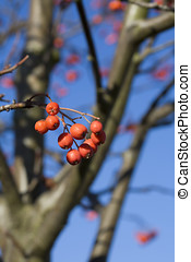 rowanberry - red berries of rowanberry on background blue...