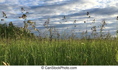 Grass sways in the wind