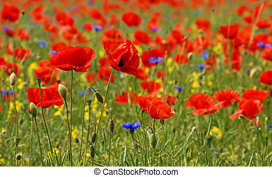 Poppies like on a painting oh claude monet