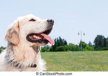 Golden retriever beautiful dog - Close up photo of a...