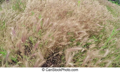 Cultivating of grass hay