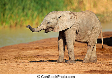 Baby African elephant - A cute baby African elephant...