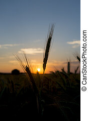 ear of wheat at sunset