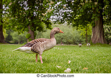 Goose in a green park