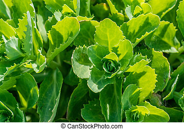 Close-up of green cabbage - Close-up of a green cabbage...