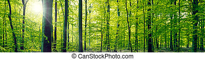 Beech forest panorama landscape - Panorama landscape of a...