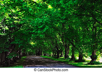 Shadowy - Umbrageous alley of high green trees in city park