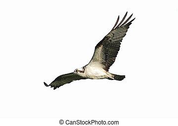 Osprey (pandion haliaetus) Isolated