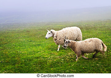 Sheep in Newfoundland - Two sheep walking in foggy field of...