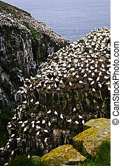 Cape St. Mary\'s Ecological Bird Sanctuary in Newfoundland -...