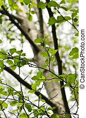 Elm tree in spring - Green elm leaves and branches in spring