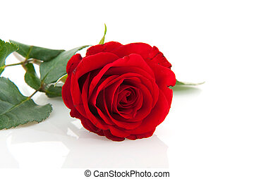 Red rose - Single red nature rose isolated over white