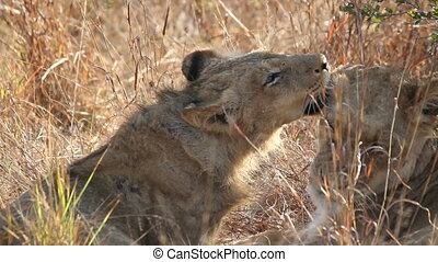 Lion interaction - Two African lions Panthera leo grooming...