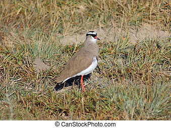 Crowned lapwing - bird named Crowned lapwing seen in...