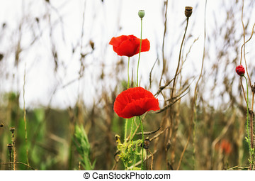 Poppy flower blossoming - small poppy flowers blossoming...