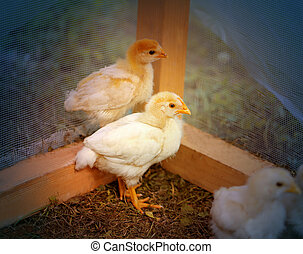Beautiful yellow chickens on a farm photographed close up