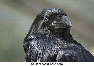 Common Raven - Corvus corax - Portrait of a Common Raven -...