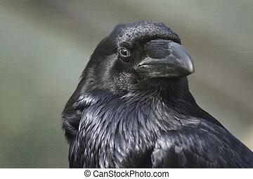 Common Raven - Corvus corax - Portrait of a Common Raven -...